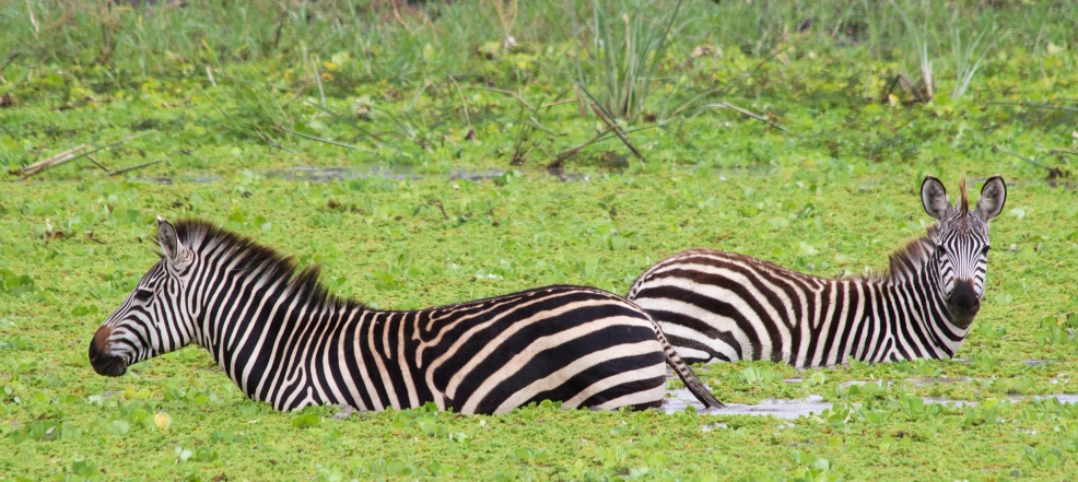 Zebras-Tarangire