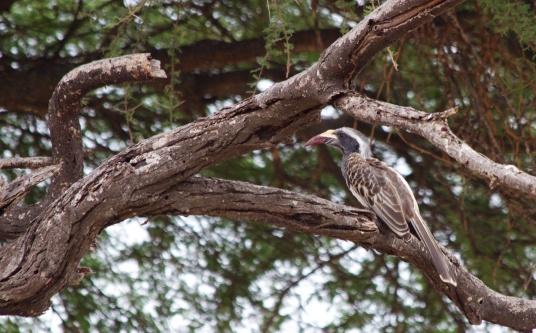 African grey hornbill-Lake Manyara