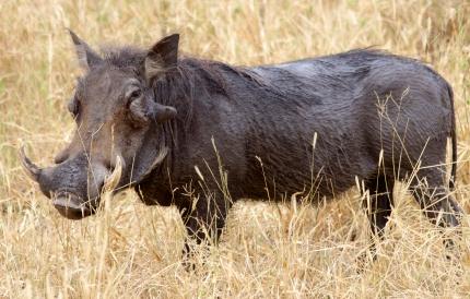 Warthog-Tarangire