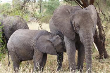 Elephants-Tarangire