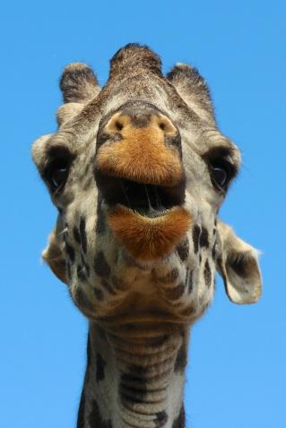 Giraffe-Serengeti