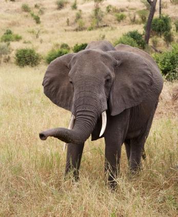 Elephant-Tarangire