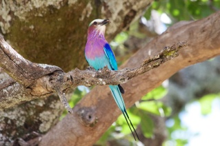 Lilac-breasted roller-Tarangire