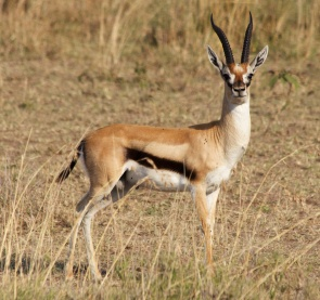 Thomson's gazelle-Serengeti