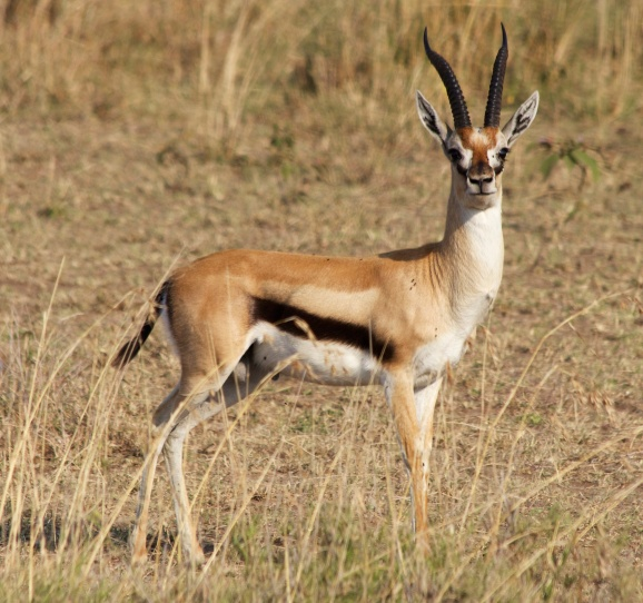 Thomson's gazelle-Serengeti