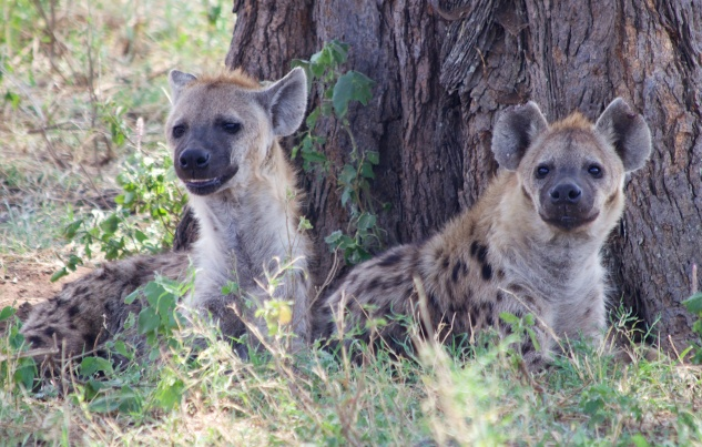 Hyaenas-Serengeti
