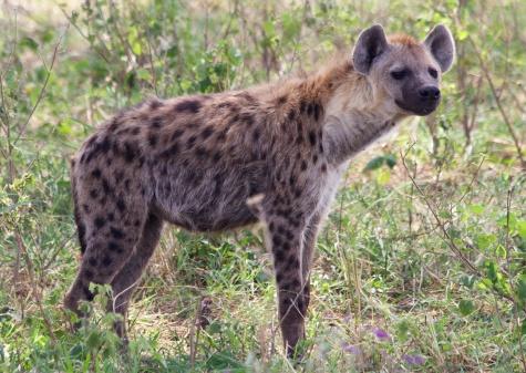 Hyaena-Serengeti