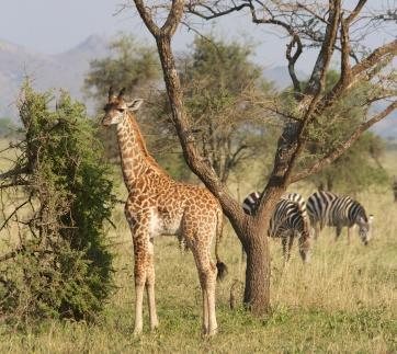 Baby giraffe-Serengeti