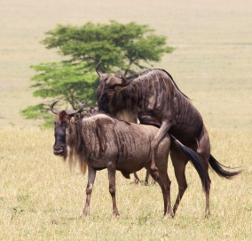 Wildebeests mating-Serengeti