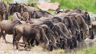 Wildebeests-Serengeti