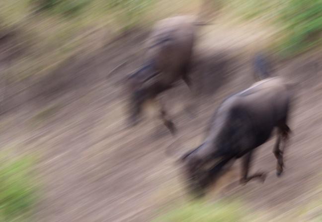 Wildebeests-Mara river,Serengeti
