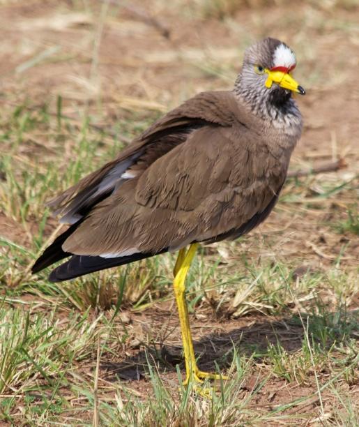 African wattled lapwing-Serengeti