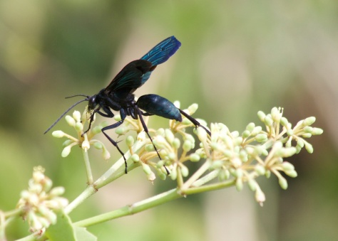 Spider-hunting wasp-Serengeti