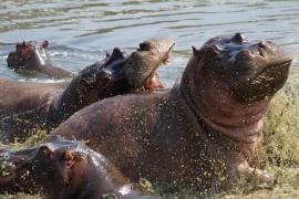 Hippos-Serengeti