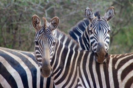 Zebras-Serengeti