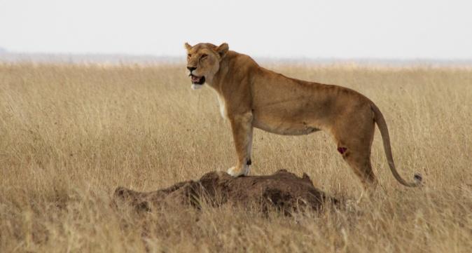 Lioness-Serengeti