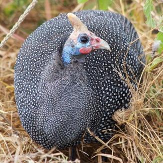 Helmeted guinea fowl-Ngorongoro