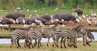 Hippos, zebras, yellow-bill storks-Lake Manyara