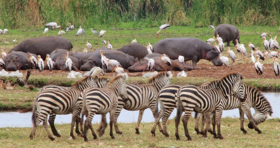 Hippos, zebras, yellow-bill storks-Lake Manyara