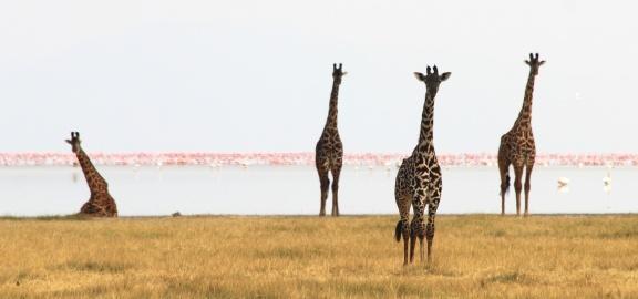Giraffes, flamingos-Lake Manyara