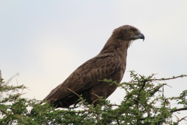 Brown snake eagle-Serengeti