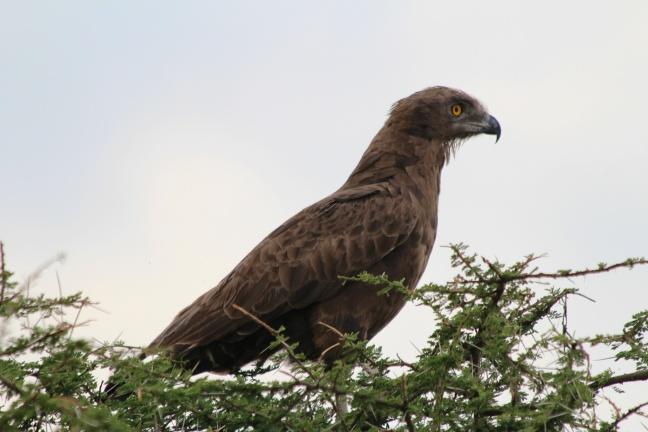Brown snake eagle-Serengeti