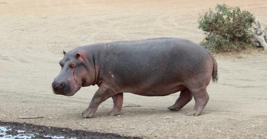 Hippo-Serengeti