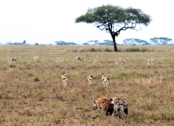 Hyaenas, thomson's gazelles-Serengeti