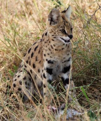 Serval cat-Serengeti