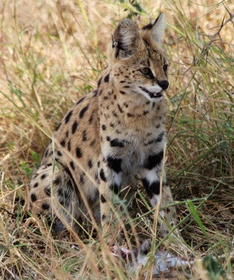 Serval cat-Serengeti