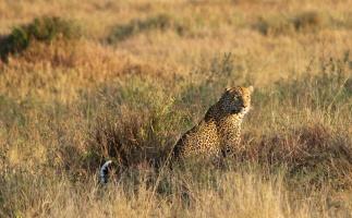 Leopard-Serengeti