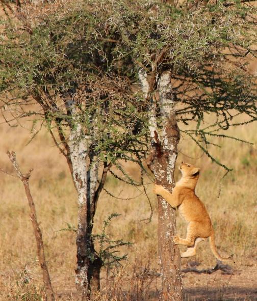 Climbing lion cub-Serengeti