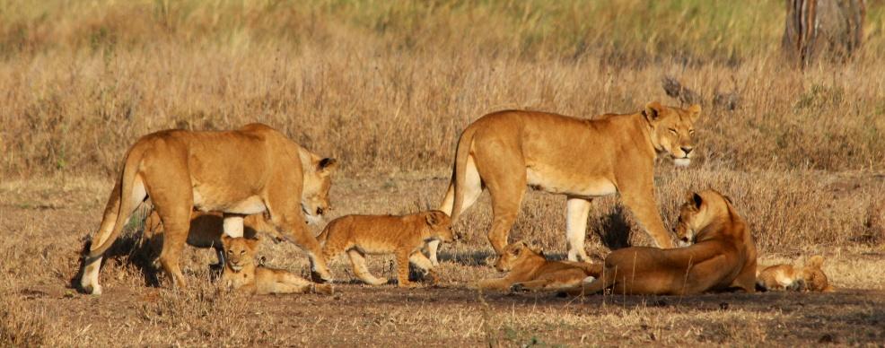 Lions-Serengeti
