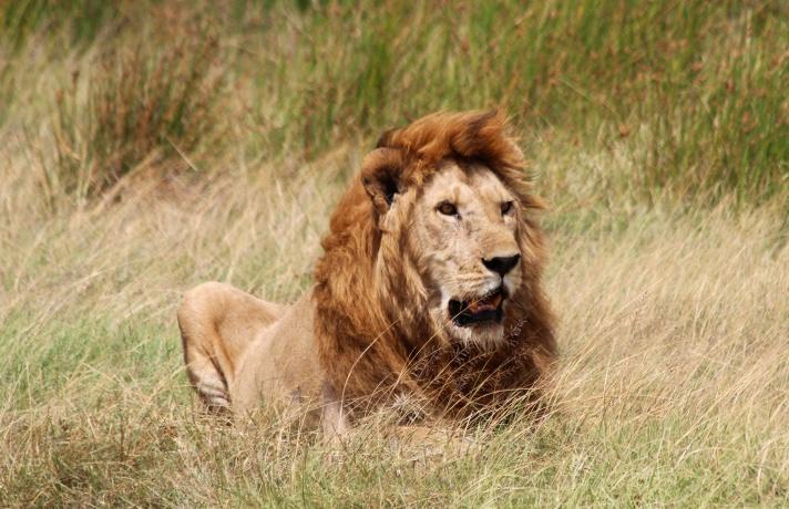 Lion-Serengeti