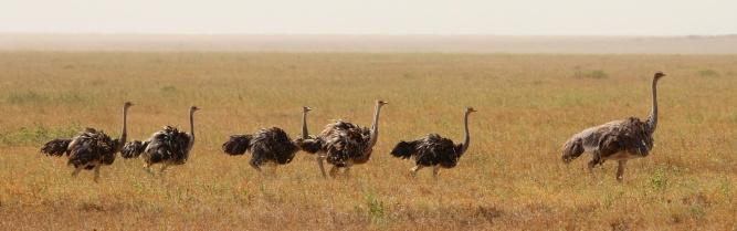 Maasai ostrich-Serengeti