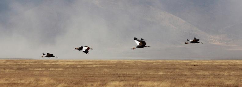 Grey crowned crane-Ngorongoro