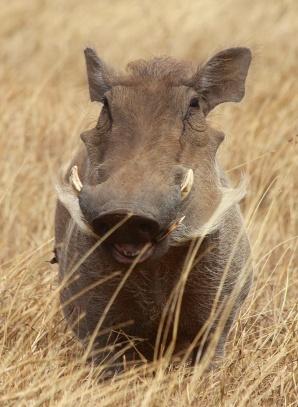 Warthog-Ngorongoro
