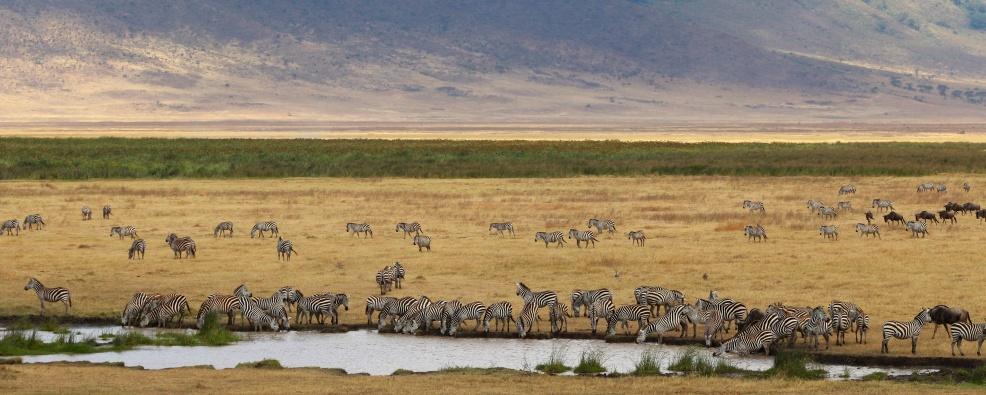 Zebras-Ngorongoro
