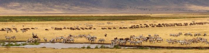 Zebras, Wildebeests-Ngorongoro