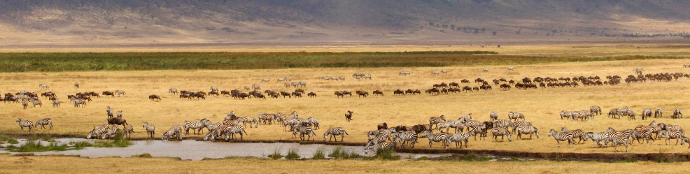 Zebras, Wildebeests-Ngorongoro