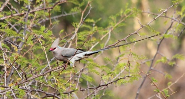 Blue-naped mousebird-Tarangire