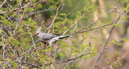 Blue-naped mousebird-Tarangire