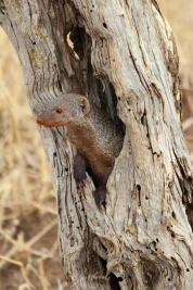Banded mongoose-Tarangire
