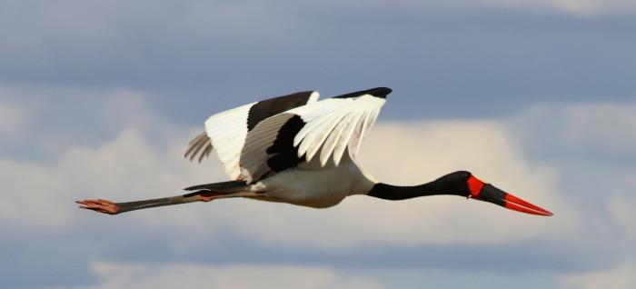 Saddle billed stork-Tarangire