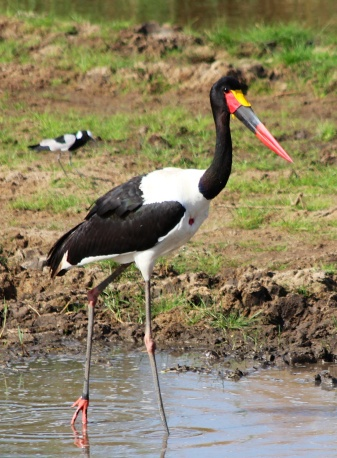 Saddle billed stork-Tarangire