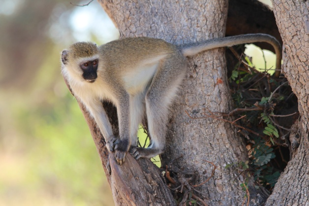 Vervet monkey-Tarangire