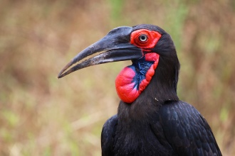 Southern ground hornbill-Lake Manyara