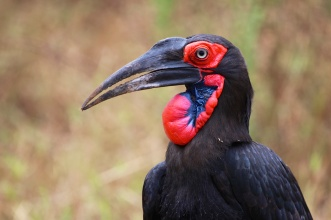 Southern ground hornbill-Lake Manyara