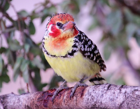 Red and yellow barbet-Lake Manyara