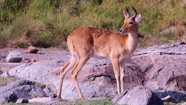 Bohor reedbuck-Serengeti